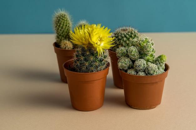 Vier cactussen in potten op blauwe en roze achtergrond, een met gele bloem.