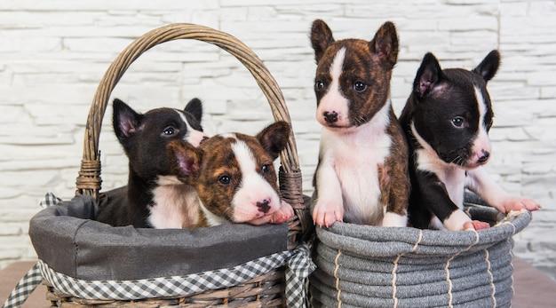 Vier grappige kleine baby's basenji puppy's honden in de mand, wenskaart