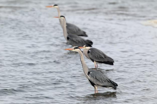 Vier grijze reigers opgesteld in een rij om te vissen en jagen