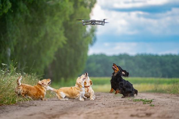 Vier honden die buiten spelen met dron. gelukkige honden op de achtergrond van de natuur. kleine rassen.