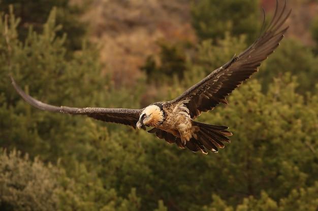 Vier jaar oude lammergeier vliegen, aaseters, gieren, vogels, gypaetus barbatus