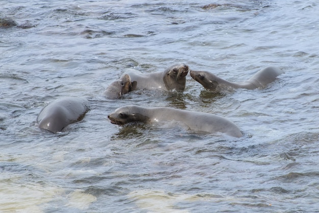 Vier jonge californische zeeleeuwen zwemmen en spelen in de stille oceaan
