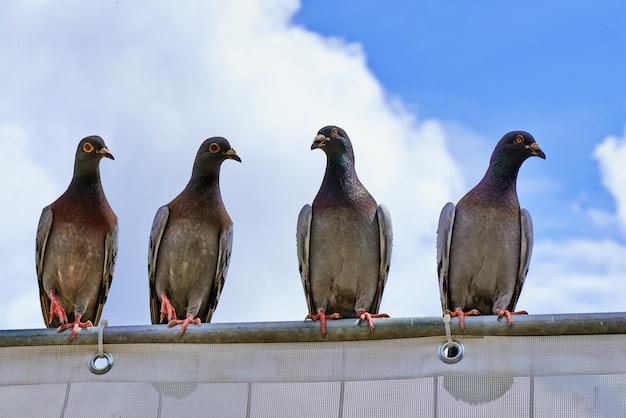 Vier jonge duiven op een metalen balk
