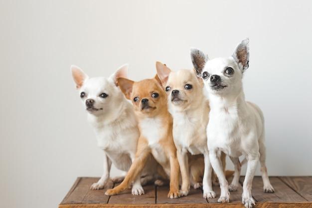 Vier jonge, mooie, leuke chihuahua puppyvrienden die van binnenlandse rassenzoogdieren op houten uitstekende doos zitten. huisdieren binnenshuis samen rondkijken en vragen. zielig zacht portret. gelukkige hondenfamilie.