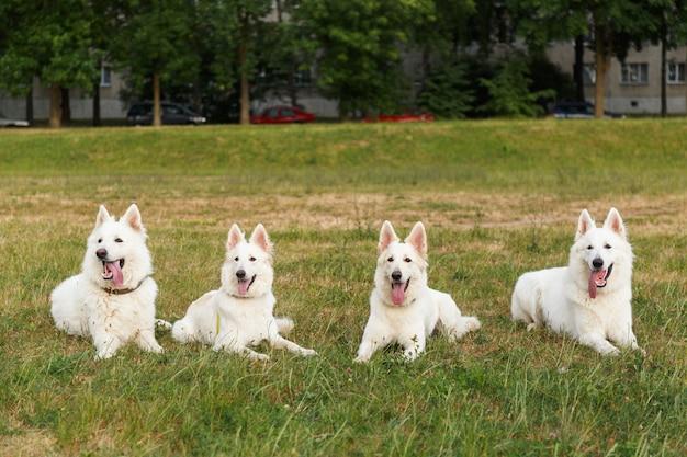Vier mooie witte zwitserse herders poseren liggend in een groep op een groen veld