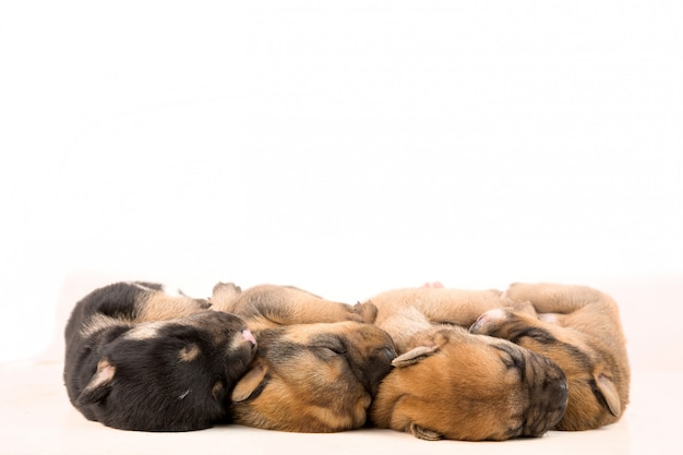 Vier pasgeboren puppy op witte achtergrond bovenaanzicht