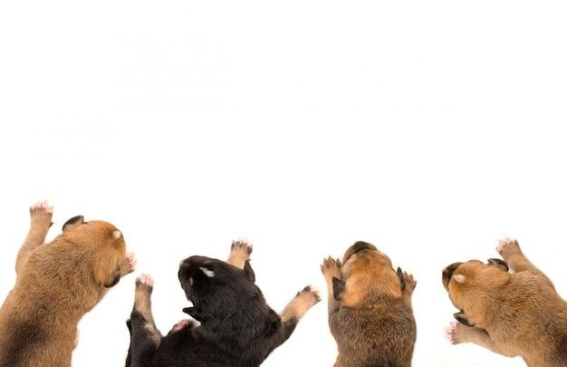 Vier puppy's in witte lijst