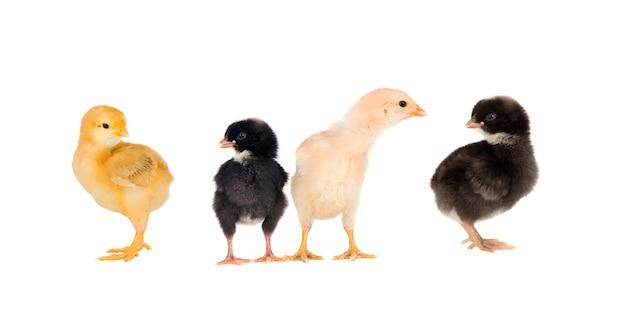 Vier verschillende kippen geïsoleerd op een witte achtergrond