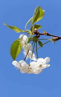 Vier witte bloesems van een kersenbloesem in bloei van een boomgaard