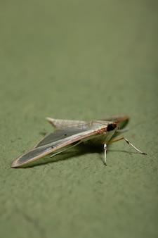 Viergevlekte palpita-mot van de soort palpita quadristigmalis