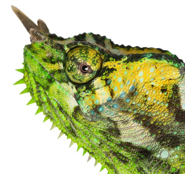 Vierhoornige kameleon - chamaeleo quadricornis