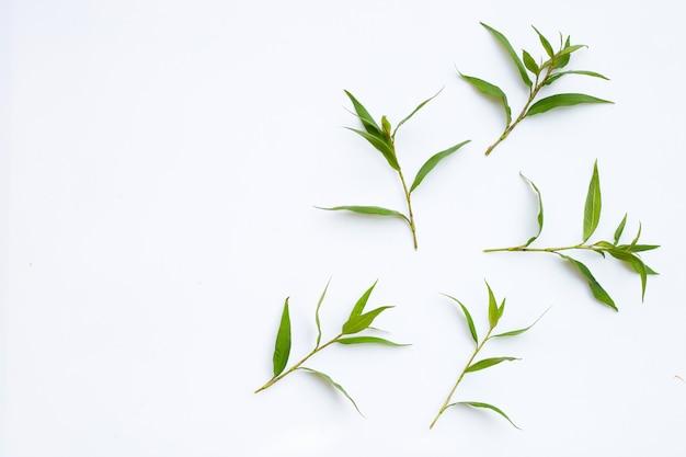Vietnamese korianderblaadjes op een witte ondergrond