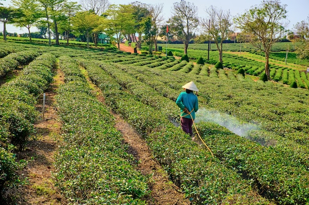 Vietnamese vrouwen die op theevelden werken Premium Foto