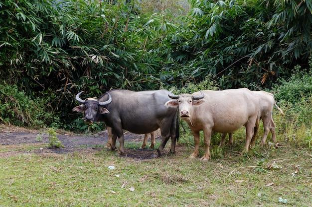 Vietnamese waterbuffel Premium Foto