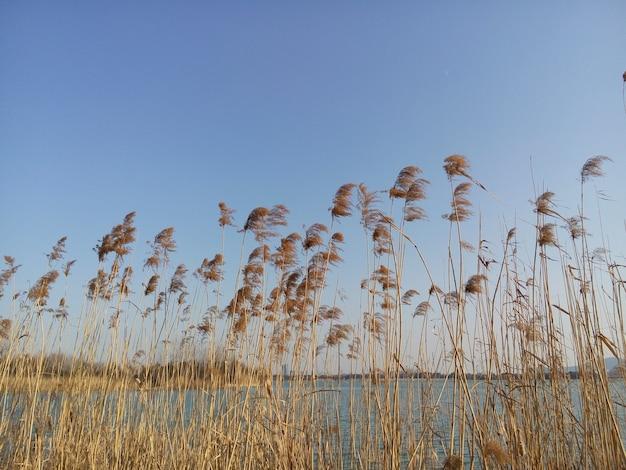View van rust riet met blauwe hemel