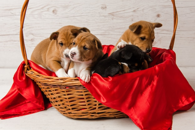 Vijf basenji-puppy's in mand met rode stof