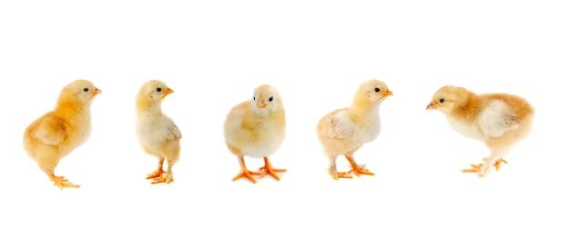 Vijf gele kippen geïsoleerd op een witte achtergrond
