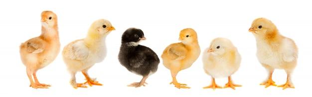 Vijf gele kuikens en één kuiken zwart