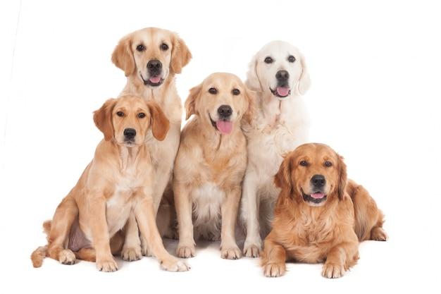 Vijf gouden retreiverhonden die voor camera stellen. op wit wordt geïsoleerd.
