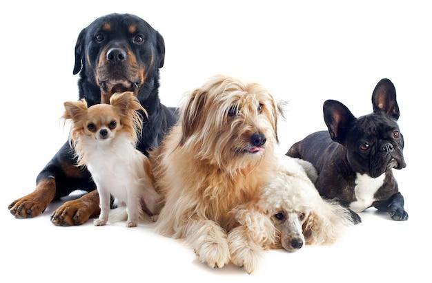 Vijf honden op wit