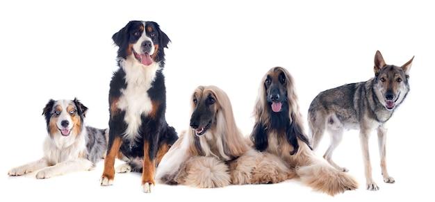 Vijf honden