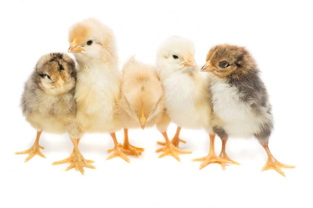Vijf kippen op wit