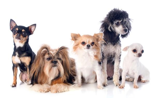 Vijf kleine honden