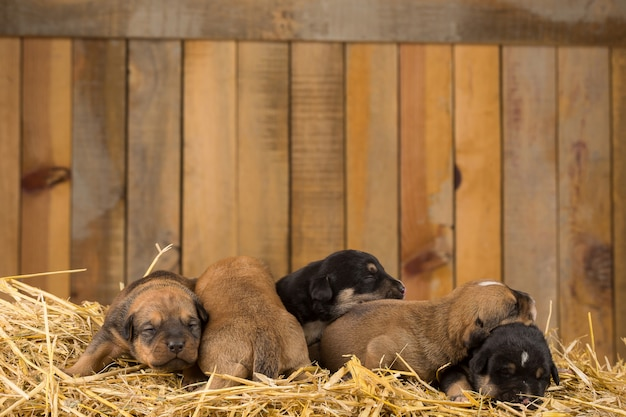 Vijf pasgeboren puppy's in een schuur