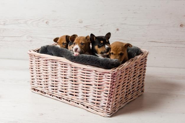 Vijf schattige basenji puppy's in de mand