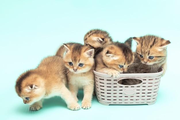 Vijf schattige schotse vouwen kittens een maand oud gouden chinchilla kleur in een mand op een zacht blauw oppervlak