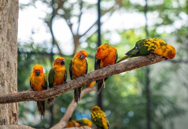 Vijf sun conure parrot-vogels die op een tak neerstrijken met groene boom bokeh achtergrond, schattige gele tortelduifjes