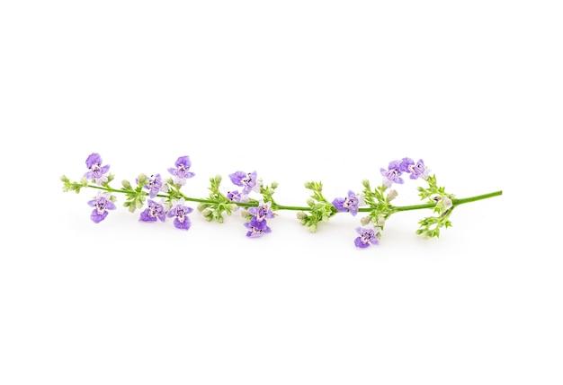 Vijfbladige kuisboom of vitex negundo-bloemen die op wit worden geïsoleerd.
