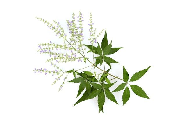 Vijfbladige kuisboom of vitex negundo-bloemen en groene bladeren die op wit worden geïsoleerd
