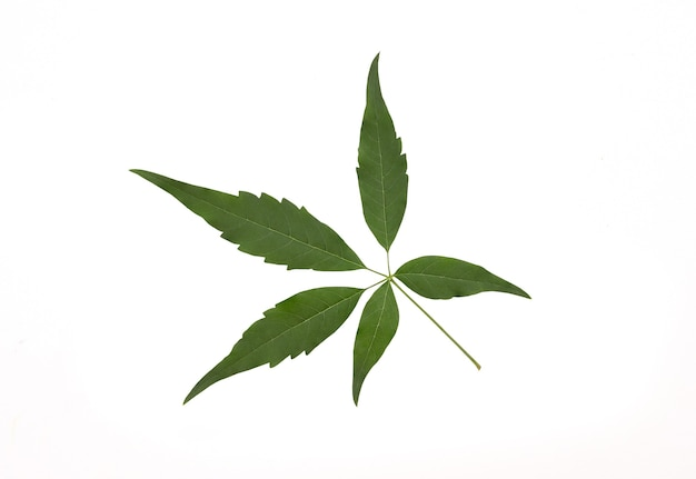 Vijfbladige kuise boom of vitex negundo groen blad geïsoleerd op wit en uitknippad.