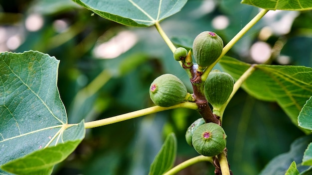 Vijgen groeien aan de boom, zomer in sochi, rusland