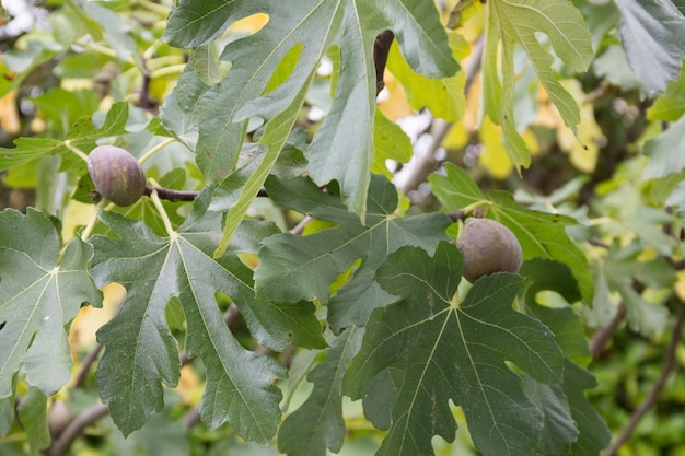Vijgen op de tak van een vijgenboom