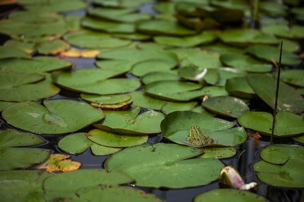 Vijver met lelies en waterlelies.