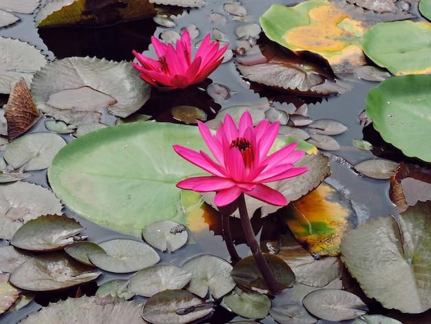Vijver met lotusbloemen of waterlelies, roos van de nijl