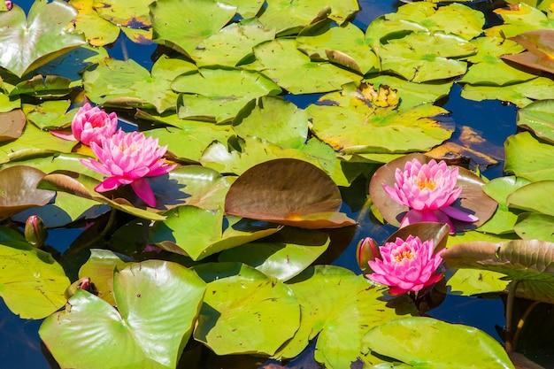 Vijver met prachtige roze heilige lotusbloemen en groene bladeren - geweldig voor een behang