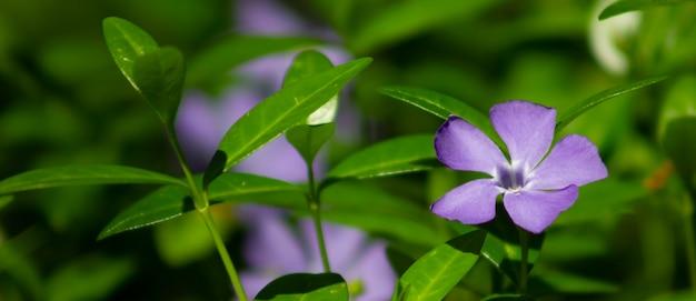 Vinca, maagdenpalm paarse bloem, bloeiende wilde bloemen in de wei.