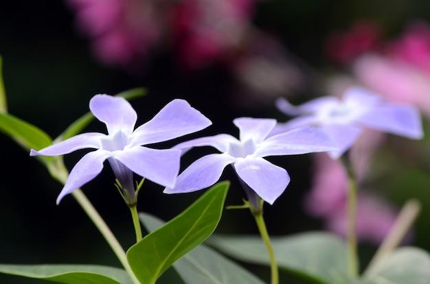 Vinca minor bloemen