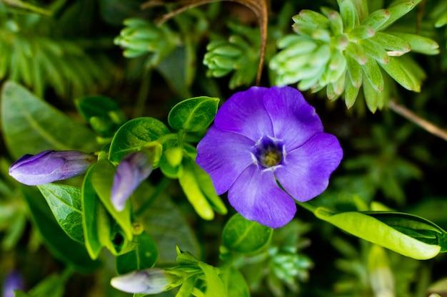 Vinca minor, veel voorkomende namen mindere maagdenpalm of dwerg maagdenpalm, is een soort van bloeiende plant in de dogbane-familie in de botanische tuin.