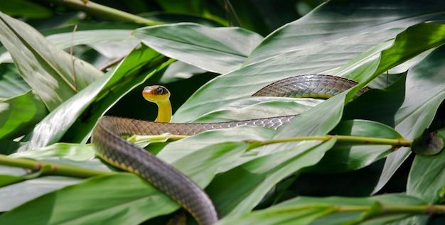 Vine snake, of cobra cipo, op groen blad