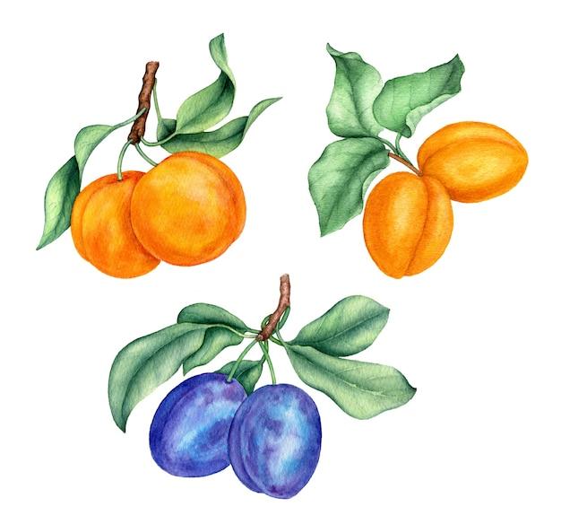 Vintage aquarel collectie van perziken, abrikozen en pruimen botanische illustratie