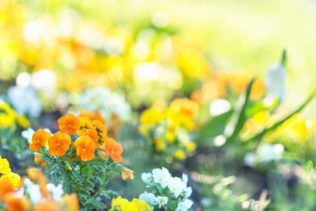 Viola oranje bloem in de ochtend zonlicht selectieve aandacht wazige achtergrond