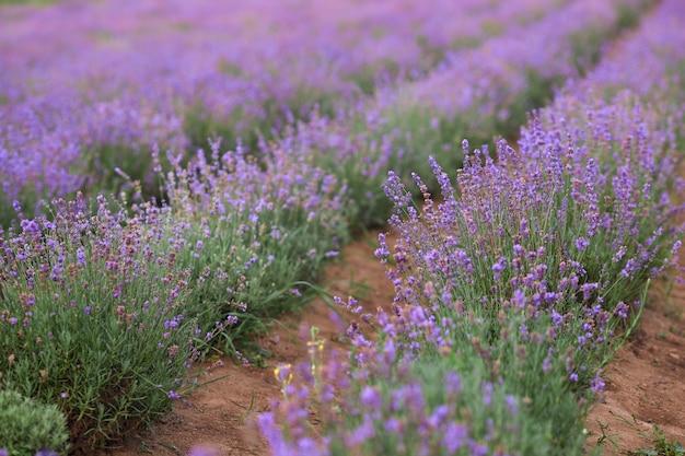 Violet bloeiende lavendelvelden in landelijke landbouwgrond