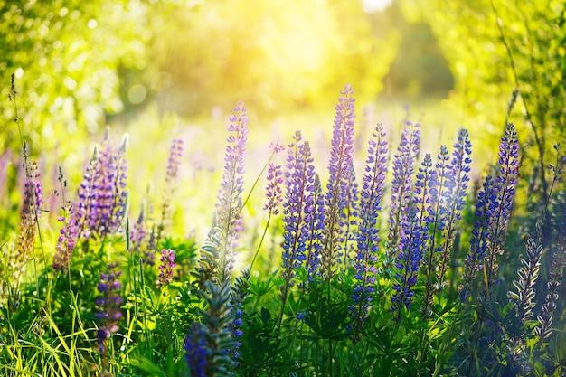 Violet lupine bloemen op groene achtergrond op zomerdag