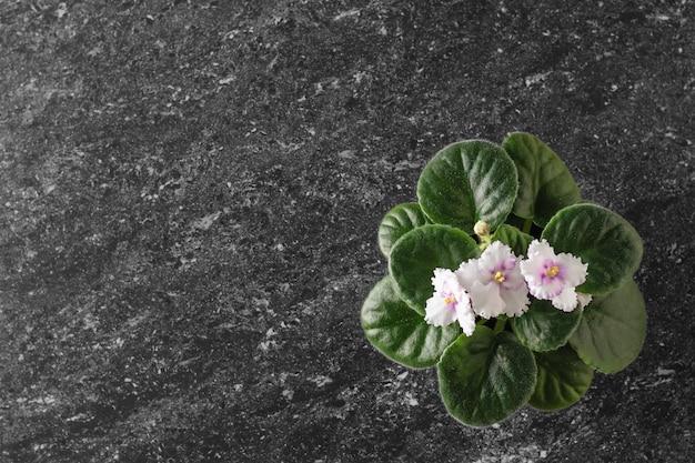 Violet met bloeiende bloemen op een zwarte stenen tafel. plat liggen. het uitzicht vanaf de top.