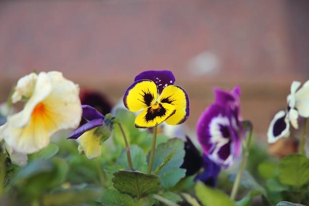 Violet pansy bloeiende tuinen bloembed