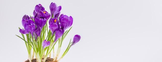 Violet pot crocus. geïsoleerd. lente vrouwendag 8 maart briefkaart banner
